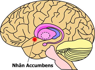 nhân Accumbens có liên quan đến chứng đau lưng mãn tính