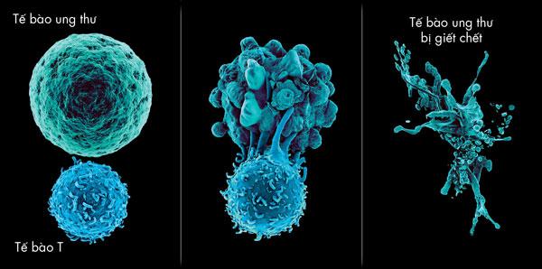 Mô phỏng cách tế bào T tiêu diệt tế bào ung thư