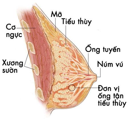 cấu trúc của tuyến vú ở phụ nữ