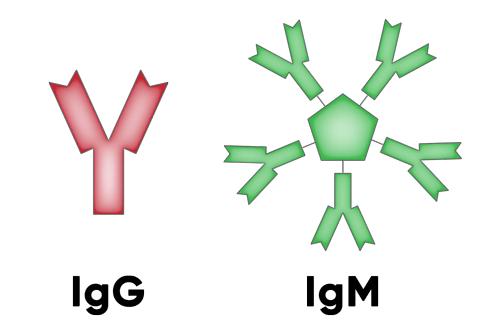 Cấu trúc phân tử kháng thể COVID-19 IgG và IgM